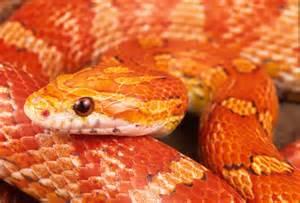corn snake care sheet world pets