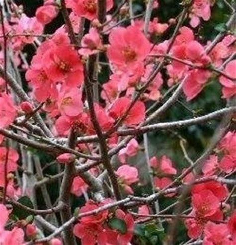cespuglio fiorito nome cespuglio a fiori domande e risposte giardinaggio