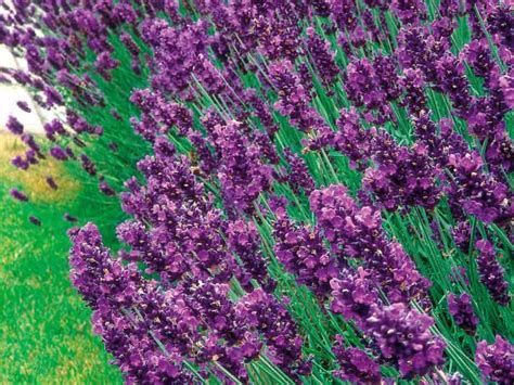 most fragrant lavender plant 15 must see lavender plant pins planting