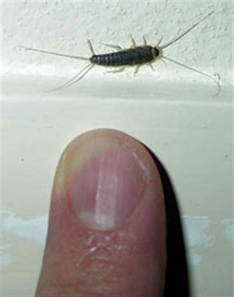 silverfish in bathroom silverfish what s that bug