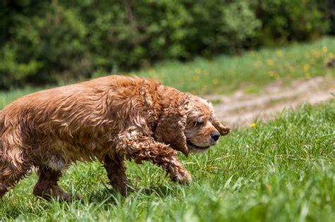 do dogs go into heat when do dogs go into season breed dogs spinningpetsyarn