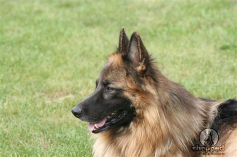 German Shepherd Shedding Problems by The Haired German Shepherd Helmuth German