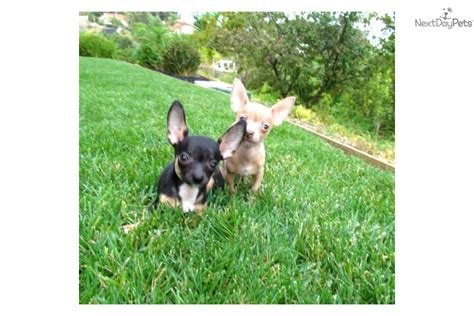 teacup yorkie puppies for sale in bay area teacup chihuahua for sale bay area rachael edwards