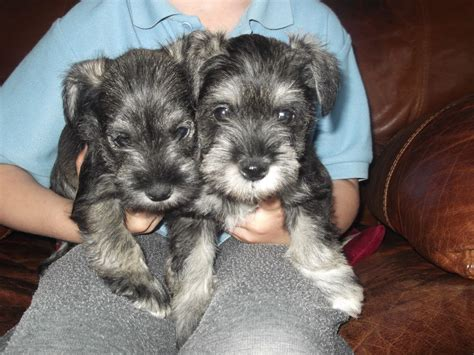 miniature puppies miniature schnauzer puppies bromsgrove worcestershire pets4homes