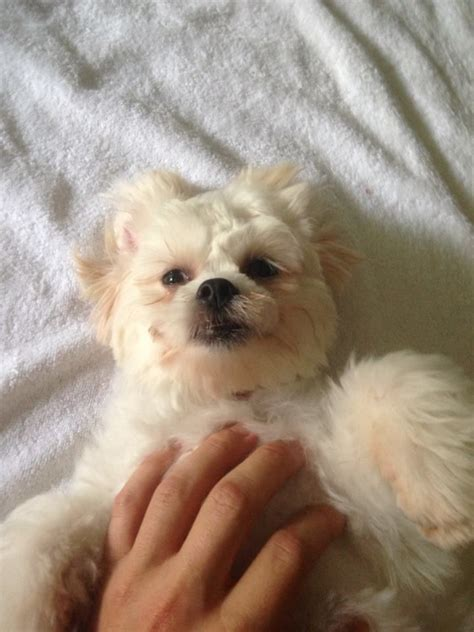 bichon shih tzu teddy 114 best images about teddy zuchon puppies dogs bichon shih tzu mix on