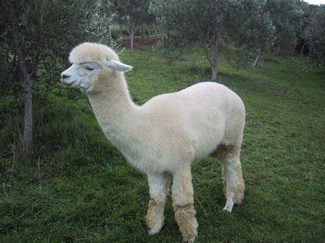 alpaca saudara jauh llama   zealand life