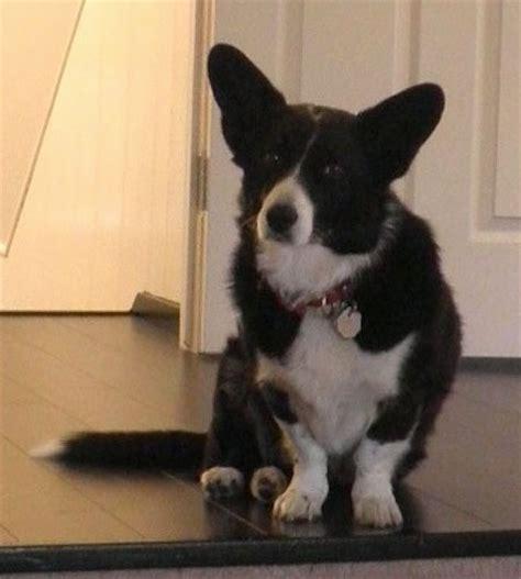 borgi puppies borgi breed information and pictures