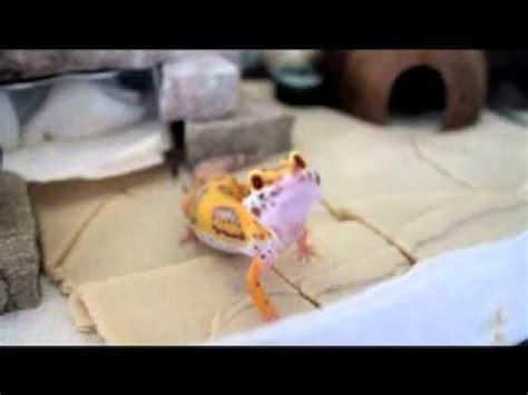 leopard gecko vivarium update youtube