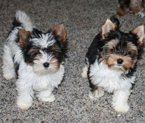 parti yorkie pictures puppies check out more puppies at our page