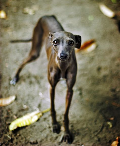 puppy in italian italian greyhound breed standard breeds of small dogs best small breeds