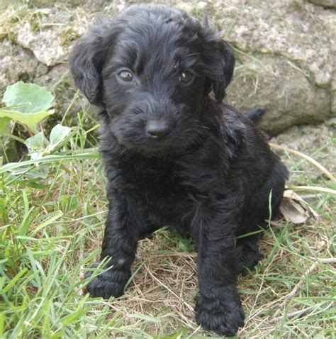 black goldendoodle puppies for sale goldendoodle puppies for sale