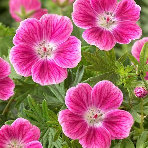 Geranium by Geranium Elke Geraniums By Variety Perennial Plants