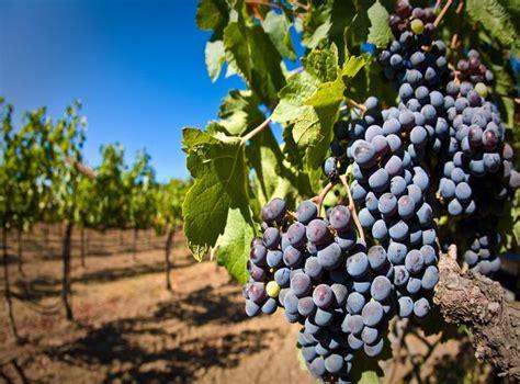 imagenes de uvas tintas las uvas tintas que se cultivan en espa 241 a