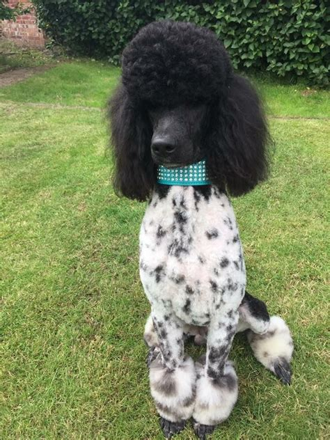 standard parti poodle puppies for sale standard parti poodle health tested stud proven worksop nottinghamshire pets4homes