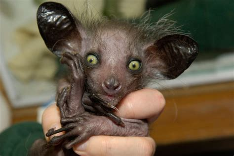 meet the world s ugliest endangered animals daily mail the 5 ugliest animals