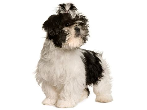 shih tzu weight range small breed pictures slideshow
