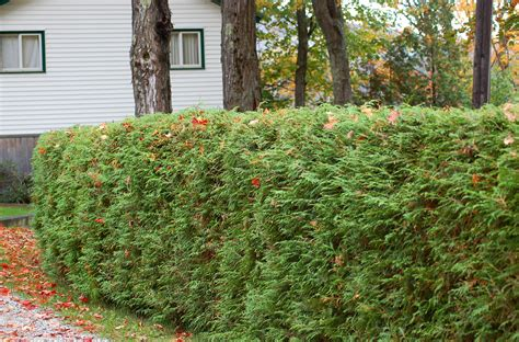 best evergreen hedge living privacy fences using shrub hedges