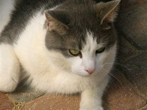 Filedomestic White And Gray Cat Jpg