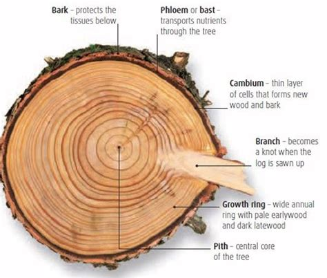 tree cross section diagram tree cross section diagram glossary