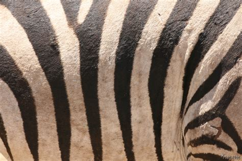 zebra head pattern zebra pattern pelt injured zebra story of africa