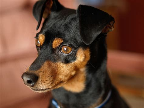 puppy pin miniature pinscher photo and wallpaper beautiful miniature pinscher