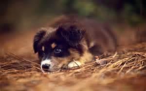 australian shepherd brown puppy australian shepherd brown images amp pictures becuo