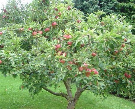 how to grow apple trees in backyard best 25 apple tree ideas on pinterest growing apple