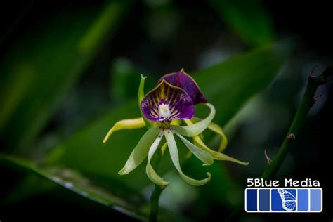Single Story House orchid evolution and the black orchids of belize