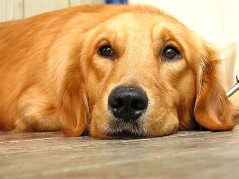 golden retriever caracteristicas caracter 237 sticas da ra 231 a golden retriever eu amo cachorros