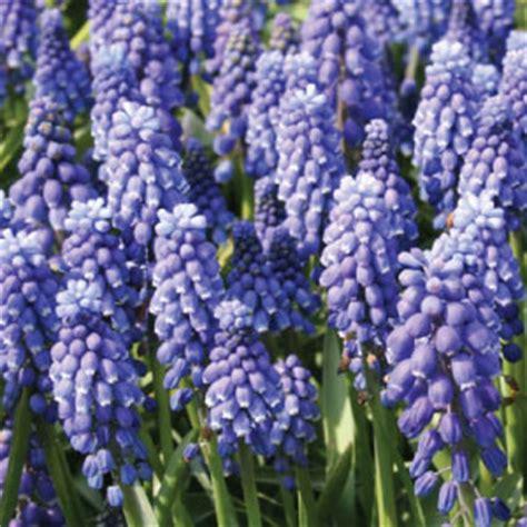 blue flower bulbs purple bulb flowers www pixshark images galleries