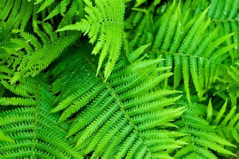 fern definition what is