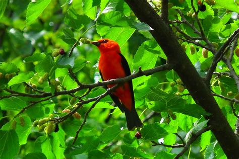 scarlet tanager birds wallpapers hd