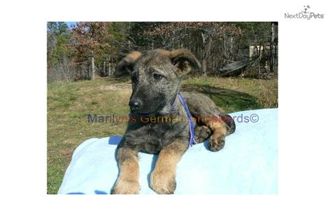 brindle german shepherd puppy ddr german shepherd oroville ca breeds picture