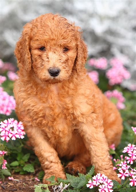 average standard poodle lifespan the standard poodle the happy puppy site