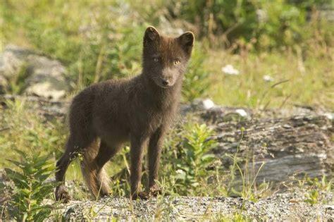 Jig001 To Survive Nature Brown arctic fox alopex lagopus natureworks