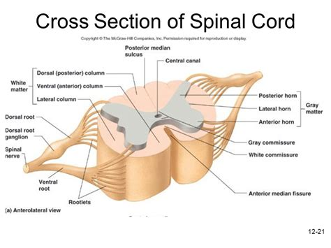 spinal cord section structure of nerves including roots and rami and plexuses