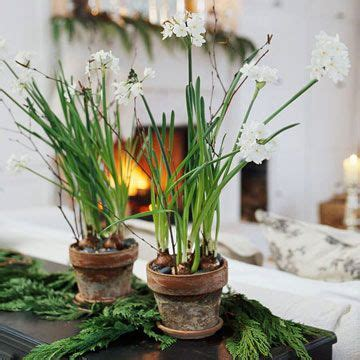 grow paperwhites  images indoor flowers