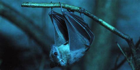 pipistrello le i pipistrelli sono animali speciali e pericolosi il post