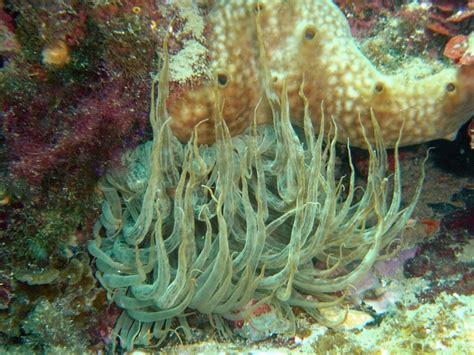 anemone dictionary aiptasia wiktionary
