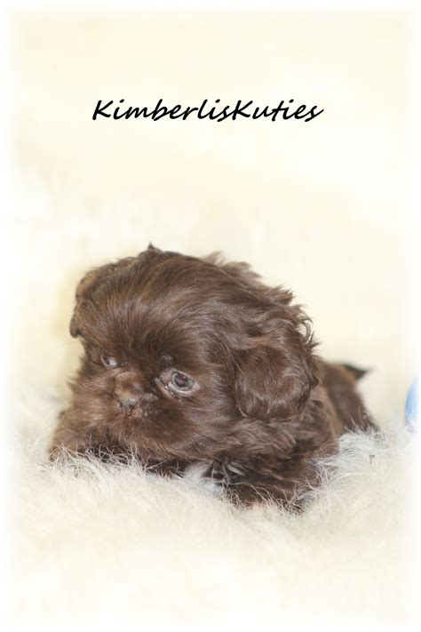 shih tzu rescue glasgow yorkie biewer imperial shih tzu scottish terrier breeders breeds picture