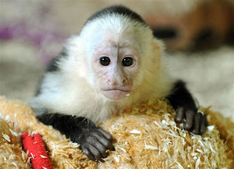 pet monkeys video search engine at search com