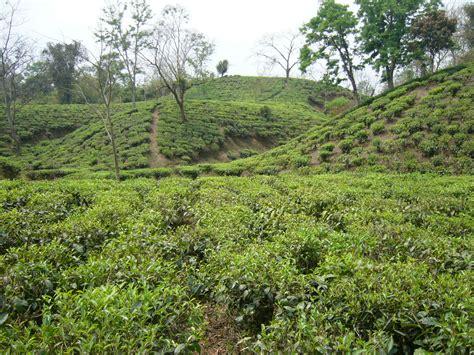 Tea Gardens by File Tea Garden Srimongol Sylhet Bangladesh 2 Jpg