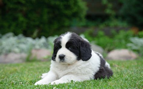 landseer puppies landseer puppies breed information puppies for sale