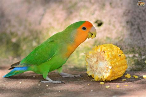 For Lovebird faced lovebird pets4homes