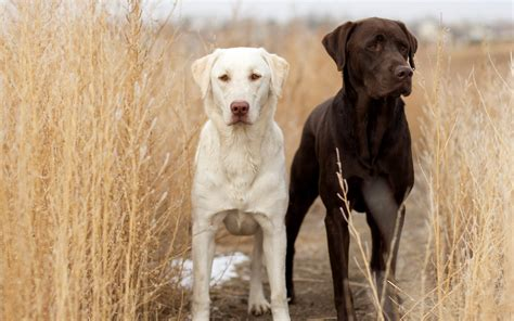 chagne lab puppies 49 labrador retriever hd wallpapers backgrounds wallpaper abyss