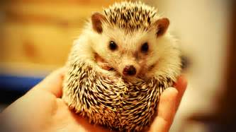 hedgehogs erinaceidae