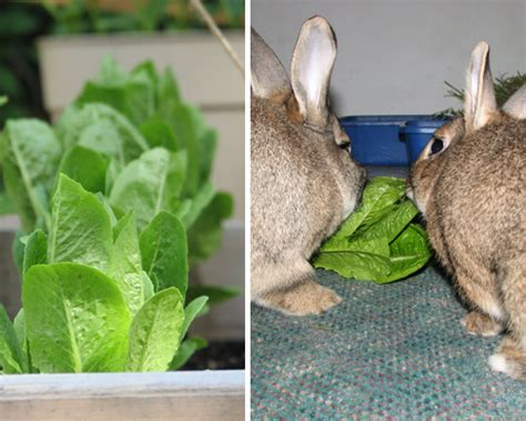vegetables for rabbits vegetables for rabbits archives my house rabbit