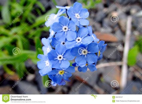 Small Blue small blue flowers forget me not stock photo image 63479127