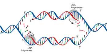 Dna Replica Replication Geneed Genetics Education Discovery