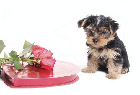 pet valentines s day pet do s and don ts pet poison helpline